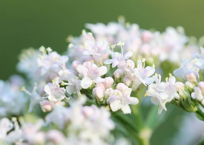 melissengeist-arzneimittel-schaebens-gesundheit-wohlbefinden-traditionell-pflanzlich-verdauungsfunktion-verbesserung-hautdurchblutung